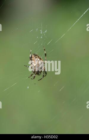 European garden spider / diadem spider / cross spider / cross orbweaver  (Araneus diadematus) on web. - Stock Photo