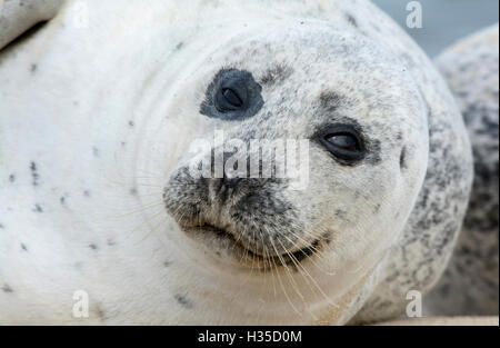 Common or harbour seal (Phoca vitulina), close-up of head - Stock Photo