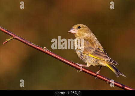Greenfinch (Carduelis chloris) perched on a dogwood branch in a garden, Cheshire, England, UK - Stock Photo