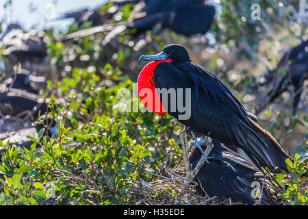 Adult male magnificent frigatebird (Fregata magnificens), San Gabriel Bay, Espiritu Santo Island, Baja California - Stock Photo