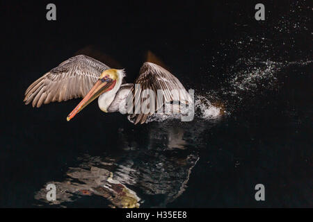 An adult brown pelican (Pelecanus occidentalis) at night near Isla Santa Catalina, Baja California Sur, Mexico - Stock Photo