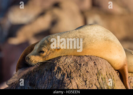 Adult female California sea lion (Zalophus californianus), at Los Islotes, Baja California Sur, Mexico - Stock Photo