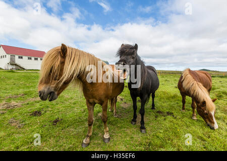 Adult Icelandic horses (Equus ferus caballus), on a farm on the Snaefellsnes Peninsula, Iceland, Polar Regions - Stock Photo