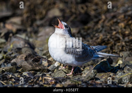 Arctic tern chick (Sterna paradisaea), calling for food from its parent on Flatey Island, Iceland, Polar Regions - Stock Photo