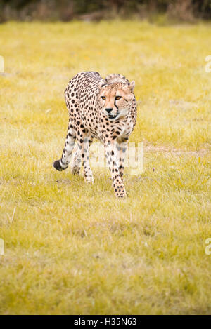 Vertical close up view of a South African Cheetah. - Stock Photo