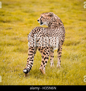 Square close up view of a South African Cheetah. - Stock Photo