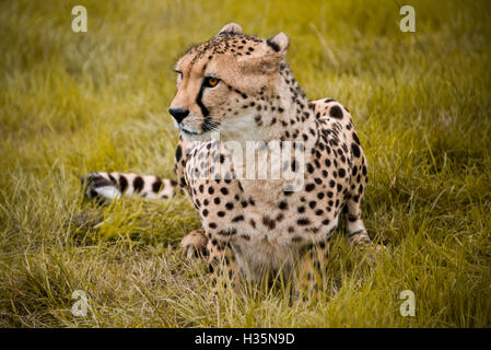 Horizontal close up view of a South African Cheetah. - Stock Photo