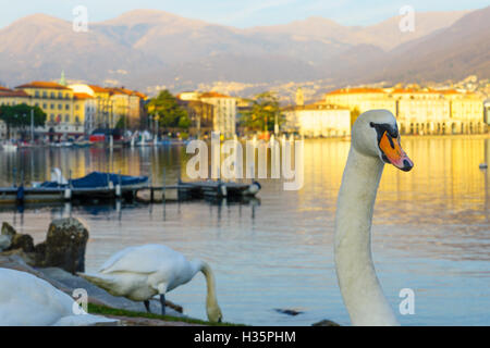 Swans on the lakeside promenade, at sunset, in Lugano, Ticino, Switzerland - Stock Photo