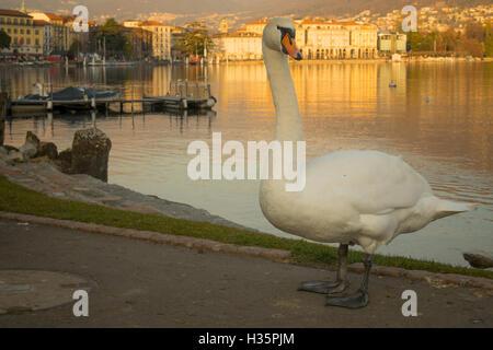 Swans on the lakeside promenade, at sunset, in Lugano, Ticino, Switzerland - Stock Photo