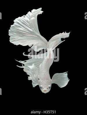 Betta fish, siamese fighting fish 'half-breed between Half moon and Elephant ear fins' isolated on black background - Stock Photo