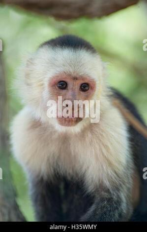 White-headed capuchin (Cebus capucinus) monkey in the jungle of Costa Rica - Stock Photo