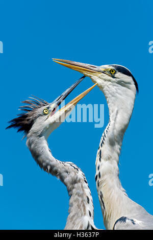 Grey Heron, Ardea cinerea,Bird Park Of Pont De Gau, Camargue, France - Stock Photo
