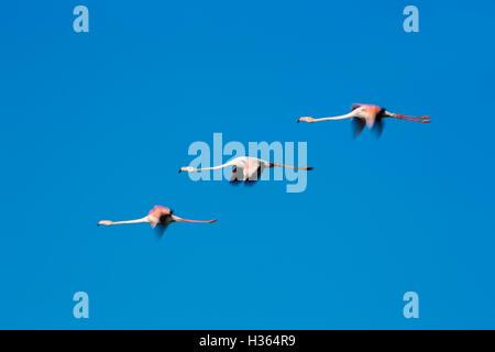 Greater Flamingos, Phoenicopterus roseus,Camargue, France - Stock Photo