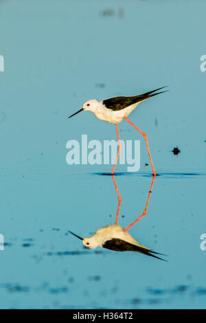 BLACK WINGED STILT, HIMANTOPUS HIMANTOPUS, CAMARGUE, FRANCE - Stock Photo