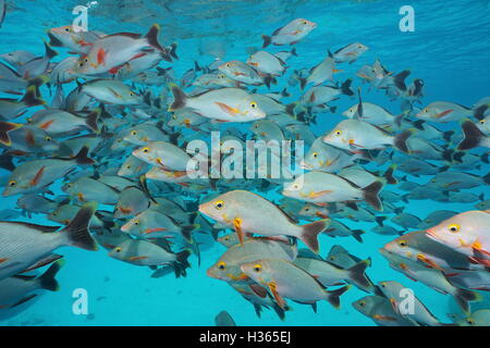 Underwater sea, shoal of fish humpback red snapper, Lutjanus gibbus, Rangiroa, Tuamotu, Pacific ocean, French Polynesia - Stock Photo