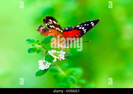 Scarlet Peacock anartia amathea buterfly green background - Stock Photo