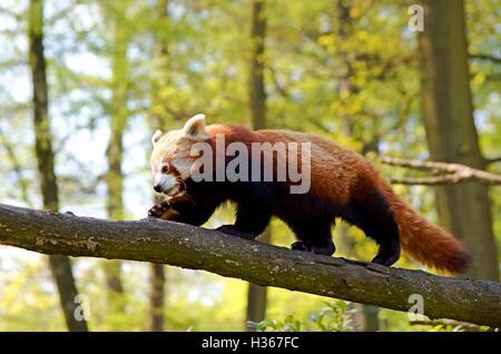 Red panda is walking the tree - Stock Photo