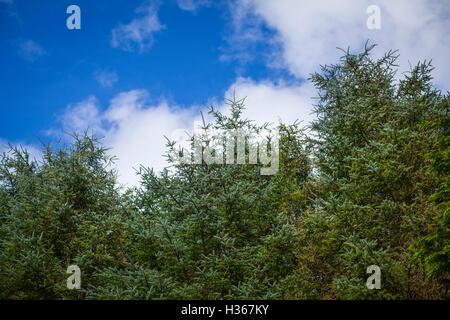 Pine tree tops - Stock Photo