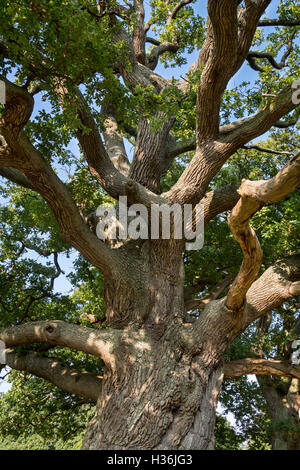 Centuries old English oak / pedunculate oak (Quercus robur) with thick branches in late summer / autumn - Stock Photo