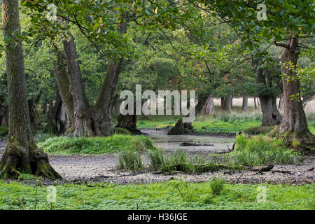 Muddy waterhole in beech forest, watering place for deer and wild boars in late summer / autumn - Stock Photo