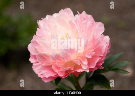 Paeonia 'Pink Hawaiian Coral' in an English garden. Peony flower. - Stock Photo