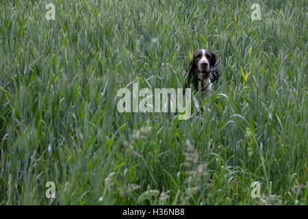 English Springer Spaniel in a field - Stock Photo