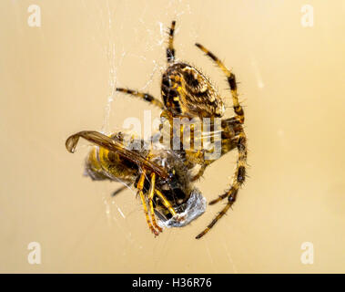 Female Araneus diadematus Garden Spider with  captured wasp in silk threads - Stock Photo