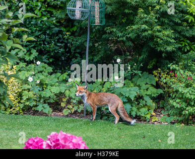 Urban Red Fox in a garden setting, Dorset, UK - Stock Photo