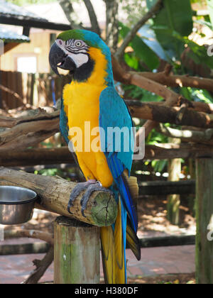 bright colored macaw parrot sitting on a wood perch - Stock Photo