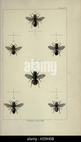 British bees- an introduction to the study of the natural history and economy of the bees indigenous to the British - Stock Photo