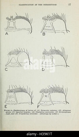 Classification of the Dermestidae (larder, hide, and carpet beetles) based on larval characters (Page 17) BHL426 - Stock Photo