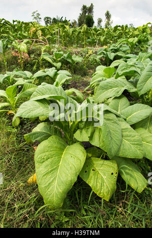 Indonesia, Lombok, Agriculture, tobacco growing in field - Stock Photo