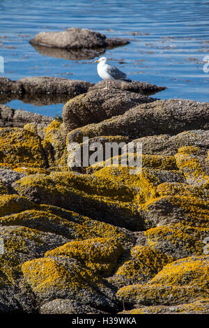 Single Seagull sits on the rocks with lichens - Stock Photo