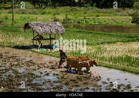Indonesia, Lombok, Pemenang, irrigated farmland north of Pusuk Pass, preparing for planting with bullocks - Stock Photo