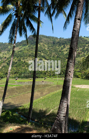 Indonesia, Lombok, Pemenang, irrigated farmland north of Pusuk Pass, being prepared for planting - Stock Photo
