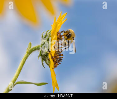 A Honey Bee Collecting Pollen From A Sunflower - Stock Photo