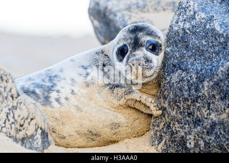 A Grey seal pup rests on a beach, North Sea coast, Norfolk, England - Stock Photo