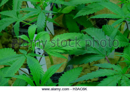 Small marijuana plants growing at a marijuana dispensary in Denver, Colorado. - Stock Photo