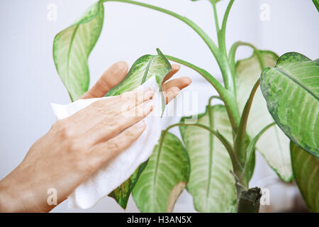 Woman wiping leaves of potted plant - Stock Photo