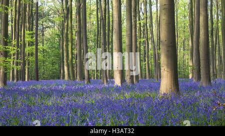 Bluebell wood of Hallerbos in Halle, Belgium - Stock Photo