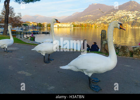 LUGANO, SWITZERLAND - DECEMBER 29, 2015: Swans on the lakeside promenade, with locals and visitors, in Lugano, Ticino, - Stock Photo