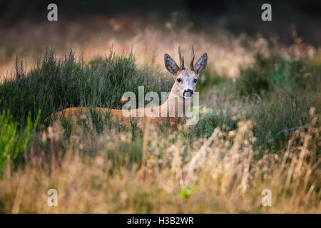 a roe deer buck - Stock Photo