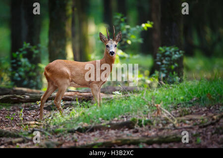 a roe deer in a forest - Stock Photo