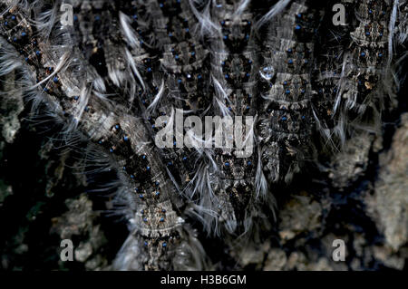 Noida, Uttar Pradesh, India- August 21, 2016: A group of hairy Caterpillars on a tree in a garden at Noida, Uttar - Stock Photo