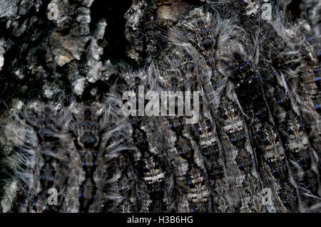 Noida, Uttar Pradesh, India- August 22, 2016: A group of hairy Caterpillars on a tree in a garden at Noida, Uttar - Stock Photo