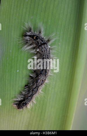 Noida, Uttar Pradesh, India- August 22, 2016: Close-up of a hairy Caterpillaron leaf in a garden at Noida, Uttar - Stock Photo