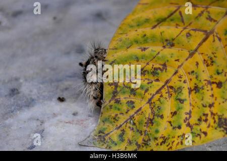 Noida, Uttar Pradesh, India- August 22, 2016: A hairy Caterpillar in search of food in a garden at Noida, Uttar - Stock Photo