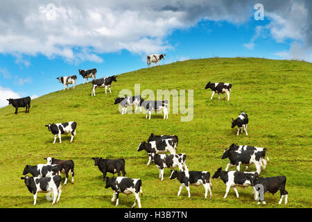 Grazing calves on green hill, New Zealand - Stock Photo