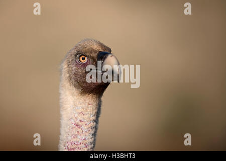 Griffon Vulture, Gyps fulvus in pre-Pyrenees near Solsona, Catalonia, Spain March - Stock Photo