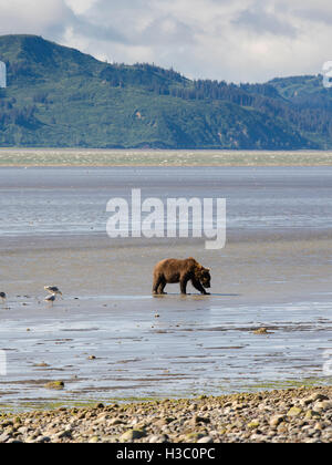 An Alaska coastal brown bear digs for clams in the tidal flat of Chinitna Bay, Lake Clark National Park, Alaska. - Stock Photo